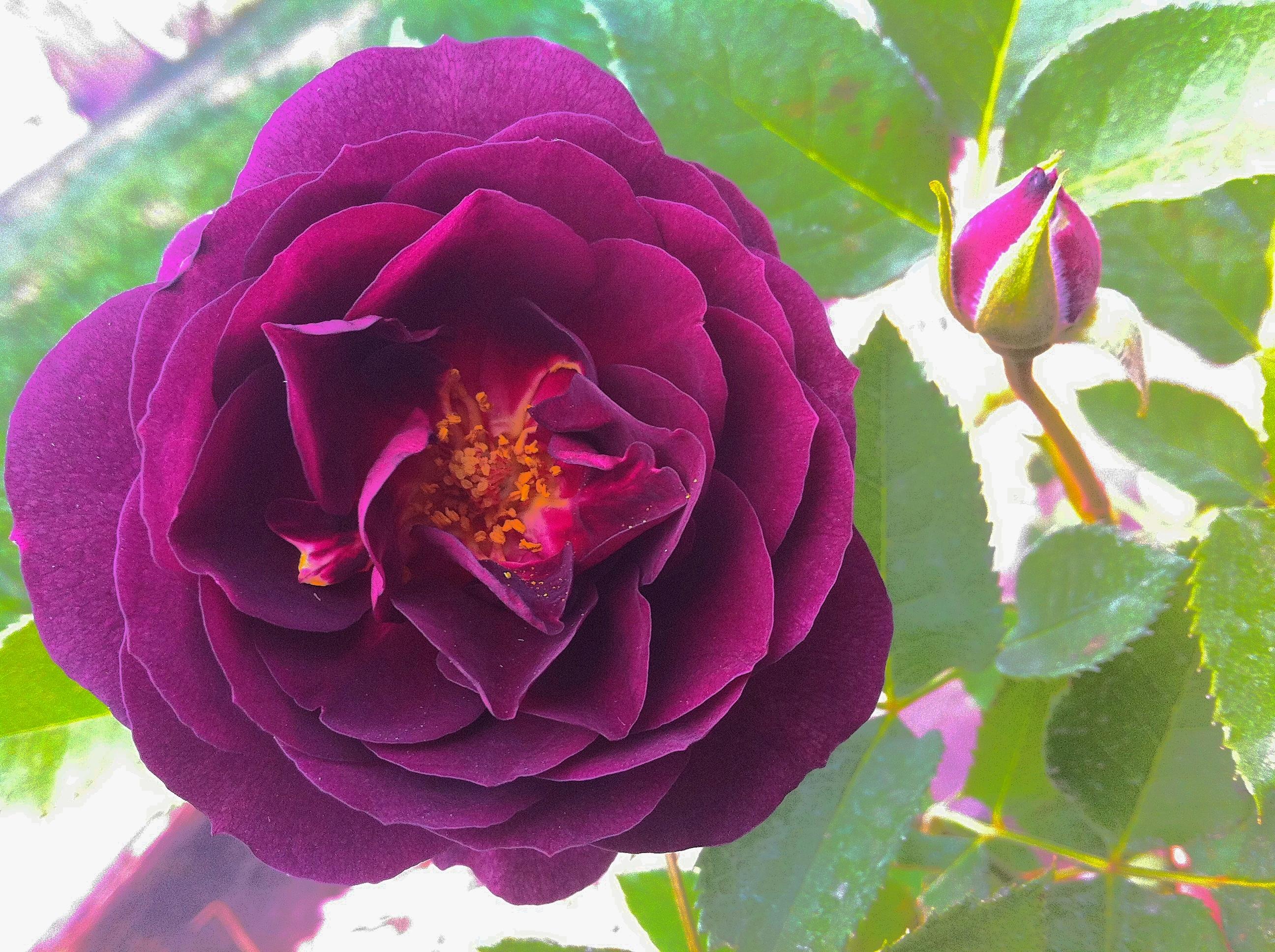 First rose again #nofilter #rose #bloom #flower