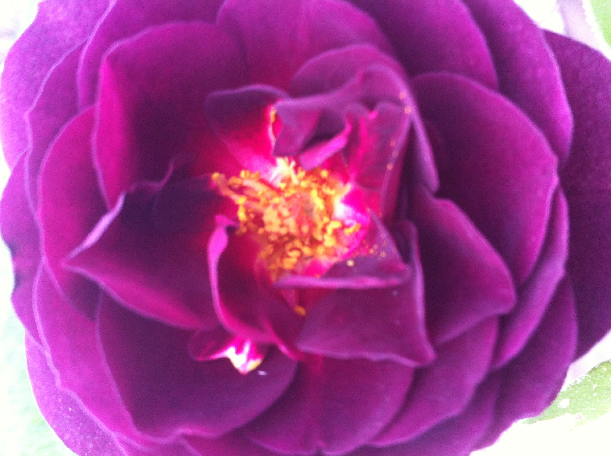 First rose #nofilter #rose #flower #bloom