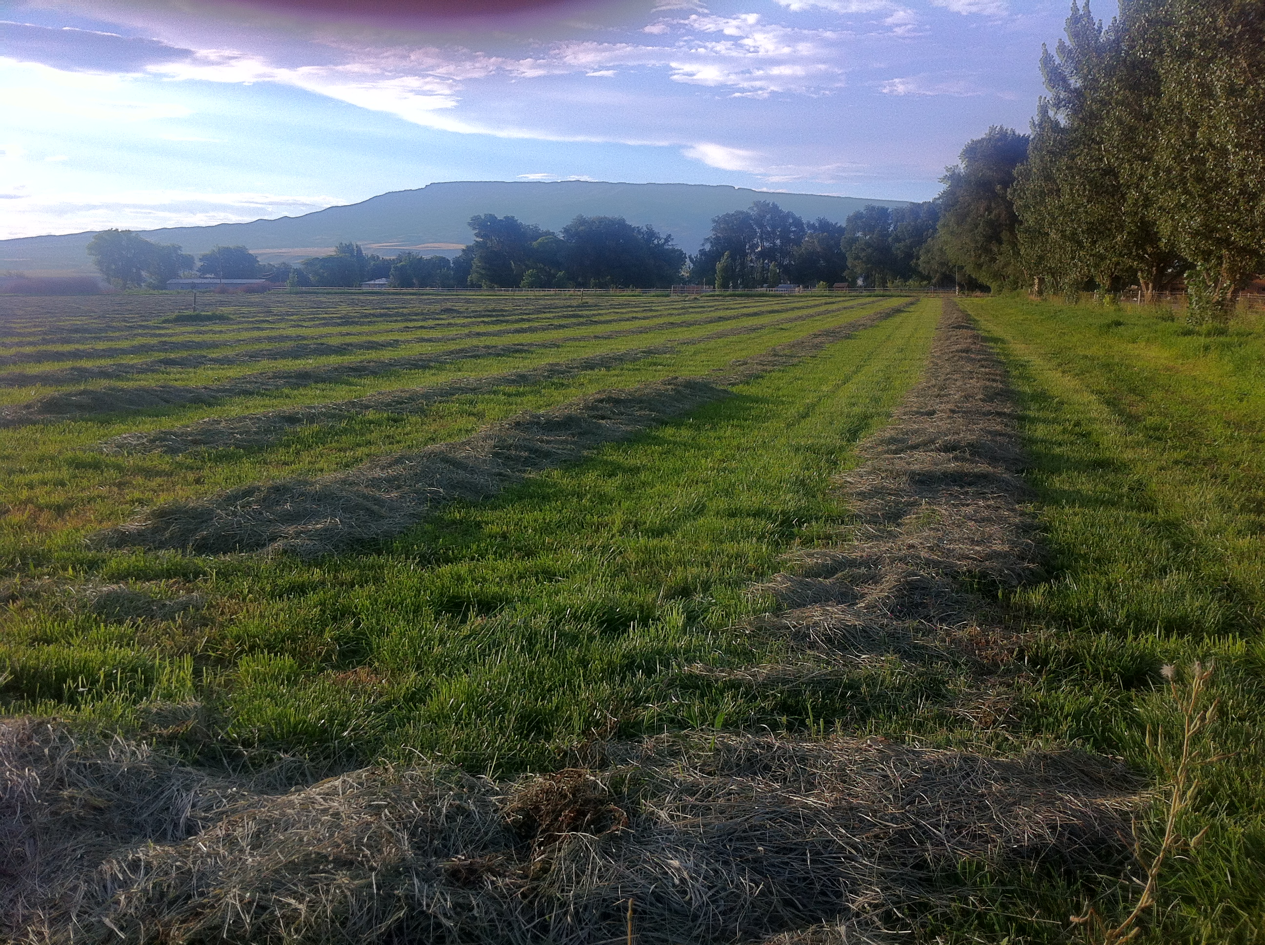 Alfalfa ready to be baled.
