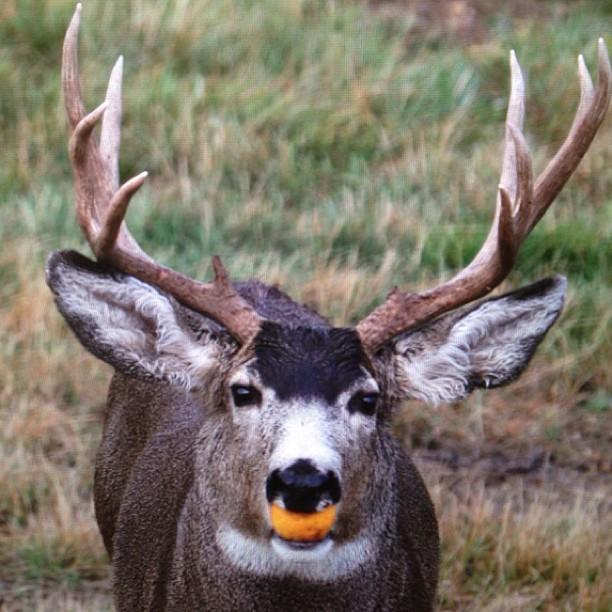 Original of previous #deer pic